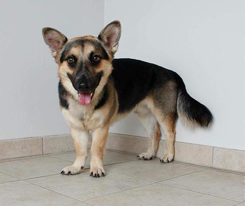 prairie side veterinary hospital, breed information, corgi shepherd mix