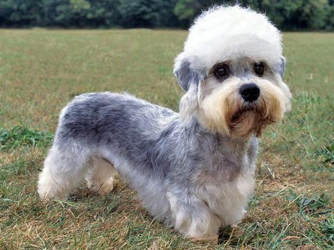 prairie side veterinary hospital, breed information, dandie dinmont terrier