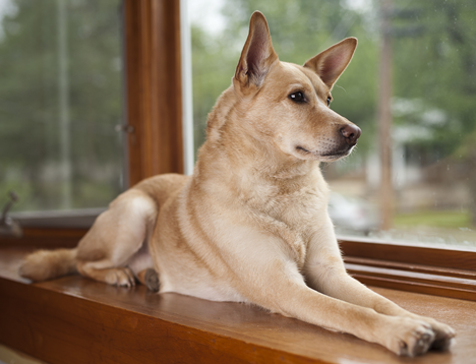 prairie side veterinary hospital, breed information, carolina dog breed information