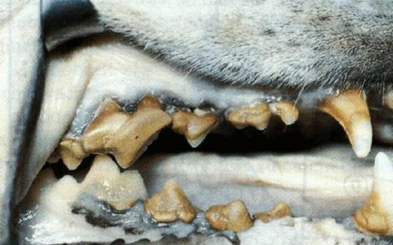 pet tartar, pet dental, pet periodontal disease